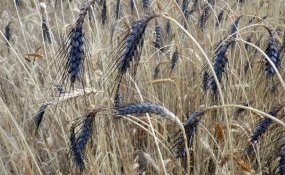 Essais blés paysans en Luberon