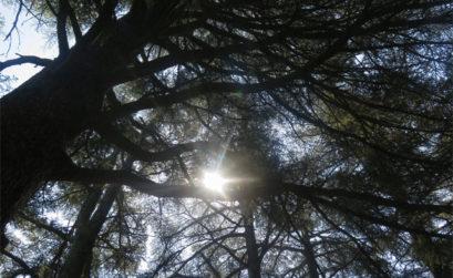 la forêt de cèdres de Bonnieux