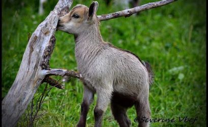 chèvres et chevreaux se visitent avec la Farigoulette
