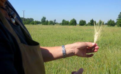 le blé pousse au Moulin du Mas de Daudet