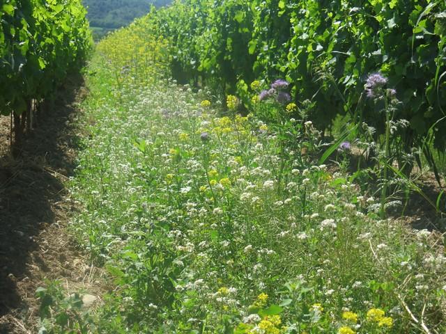Château st Jean pratique l'enherbement des rangs de vigne