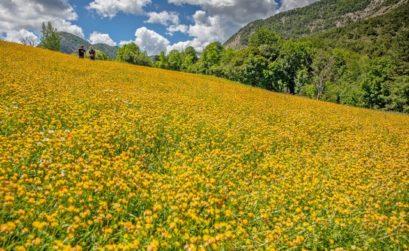 l'anthyllis se cultive dans les Alpes