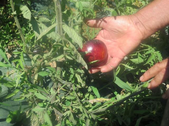 les tomates bleues du parc de la Ste-Baume