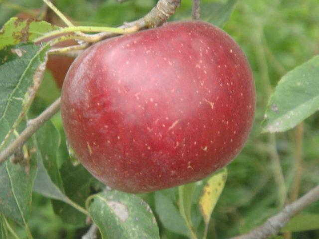 Garance, une pomme rustique
