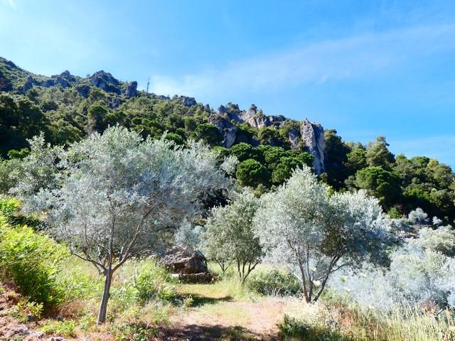 les oliviers tout près de la forêt