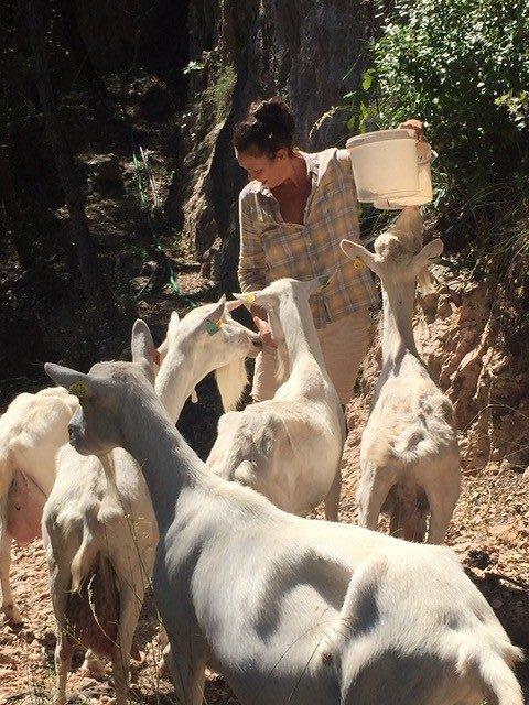 les chèvres remplacent la tondeuse