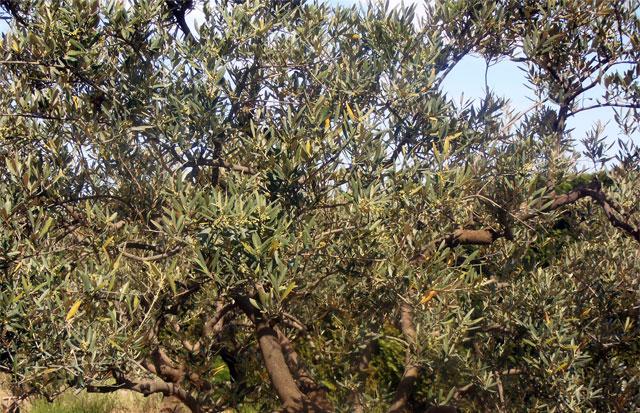 cueillir les olives malgré la Covid