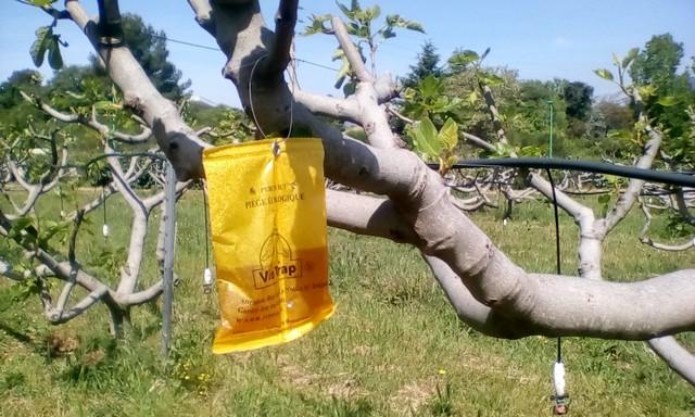 Piège biologique dans le verger de figues