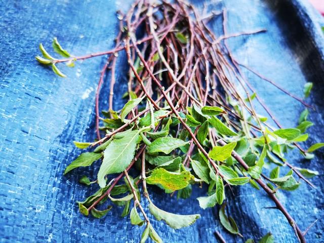 ces boutures de prunus donneront des plantes locales