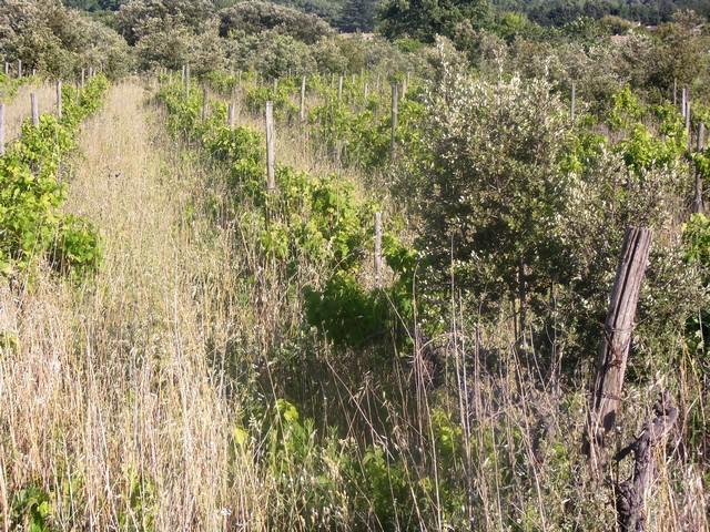vignes abandonnées sans avenir