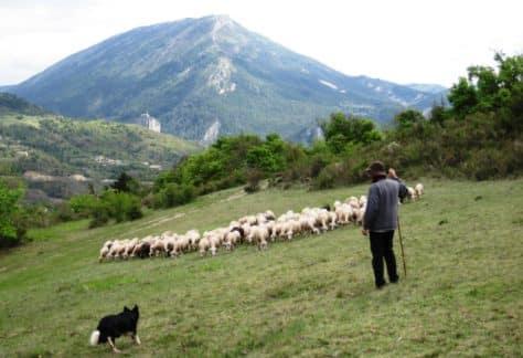 moutons à Castellane