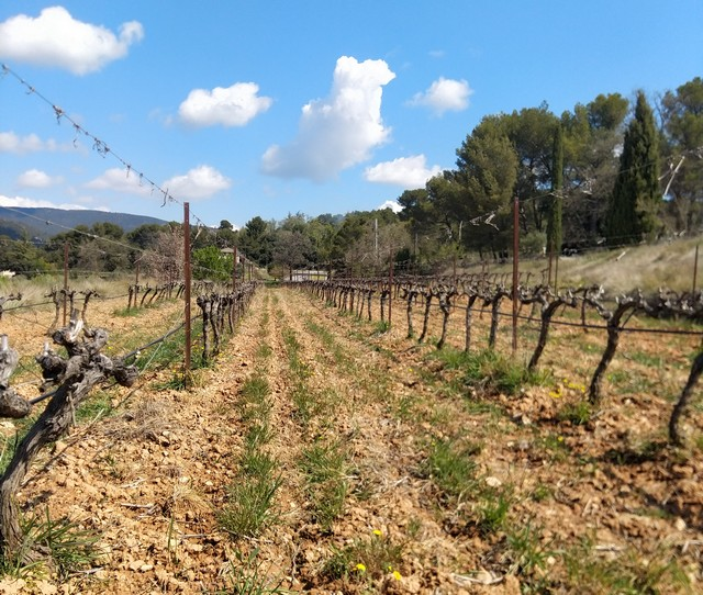 les vignes passent au zéro herbicide