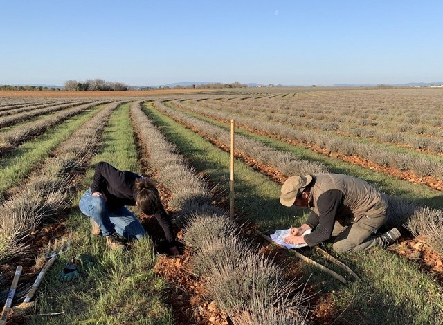 les tests culottés dans les champs de lavandin